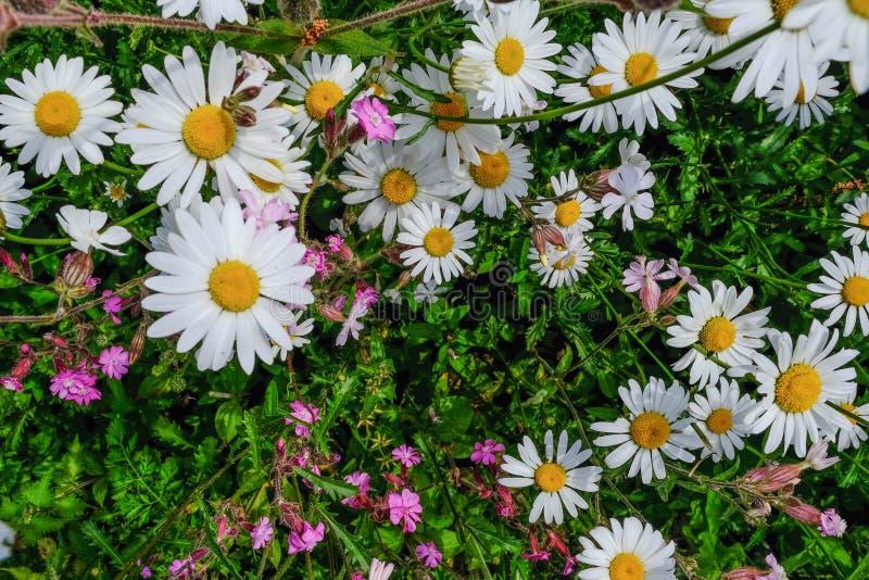 Closeup av oavkortad blom för vita lösa daisys royaltyfri bild