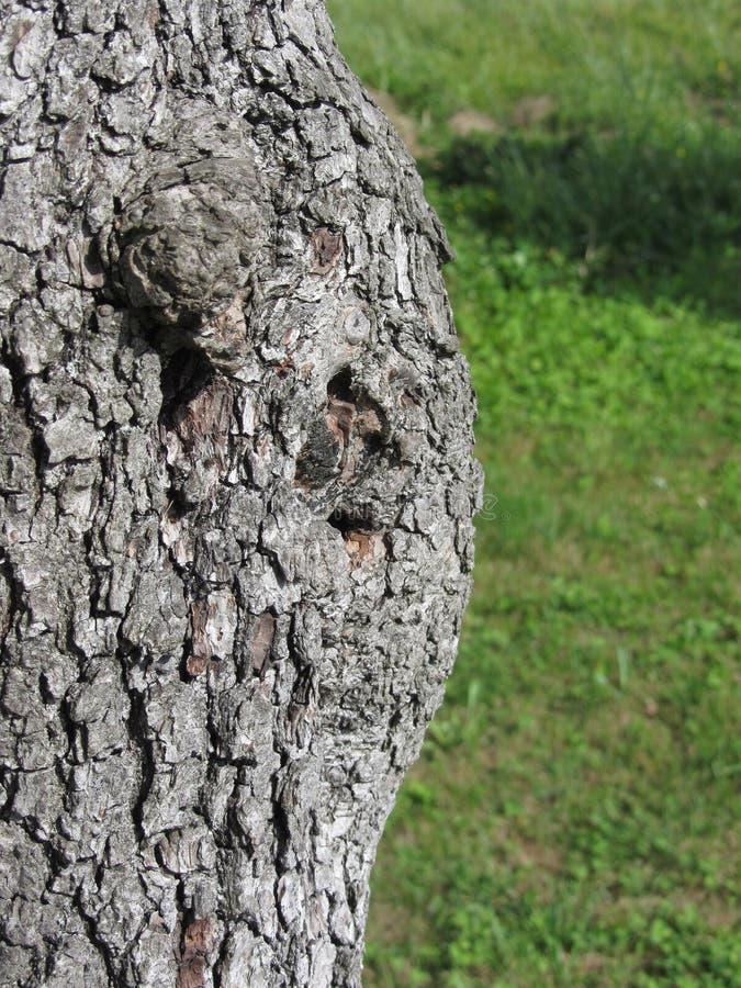 Closeup av päronträdstammen mot grön bakgrund arkivfoton