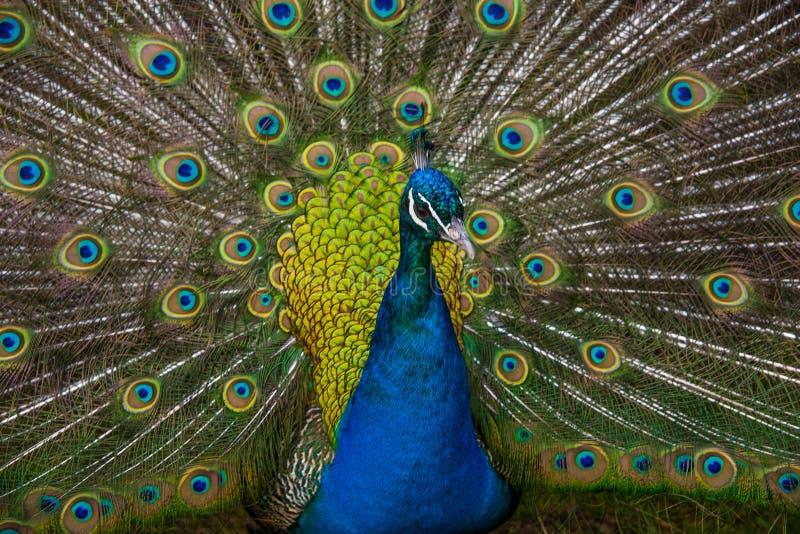 Closeup av påfågeln royaltyfri bild