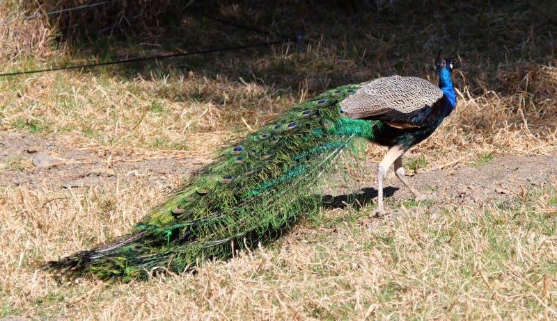 Closeup av påfågeln med blå och grön fjäderdräkt mot neutral bakgrund arkivfoto