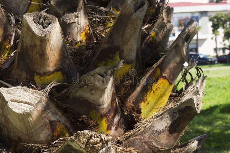 Closeup av palmträdstammen royaltyfri bild