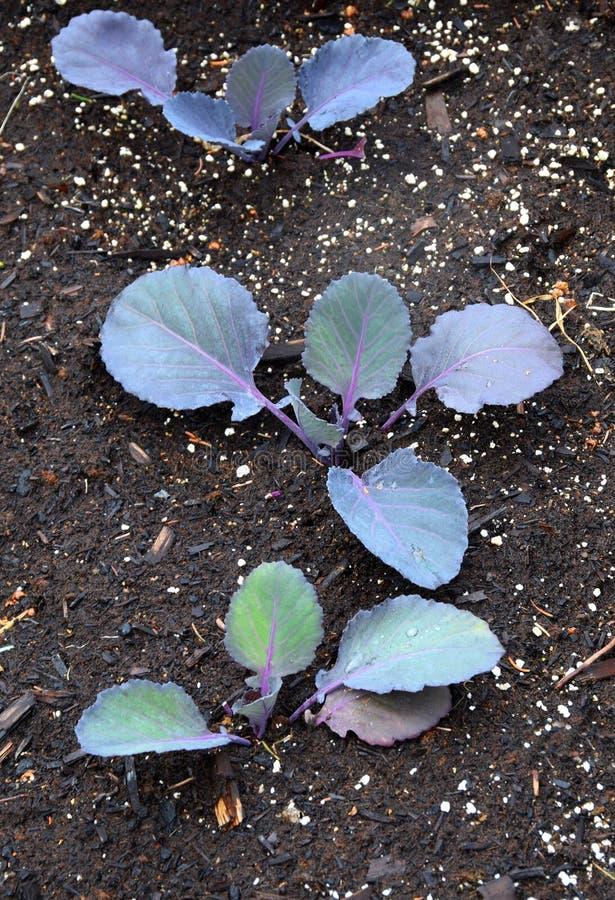 Closeup av plantor för röd kål I fotografering för bildbyråer