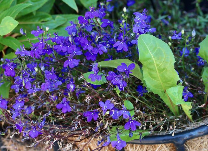 Closeup av purplesblommor royaltyfria bilder