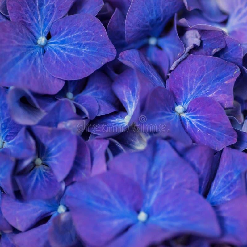 Closeup av purpurfärgat mörker - blå hortensia blommar arkivbilder