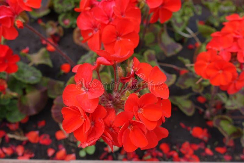 Closeup av röda blommor av den zon- pelargonian arkivbild