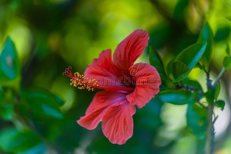 Closeup av 1 röda hibiskusblomma på grön oskarp bakgrund royaltyfria foton