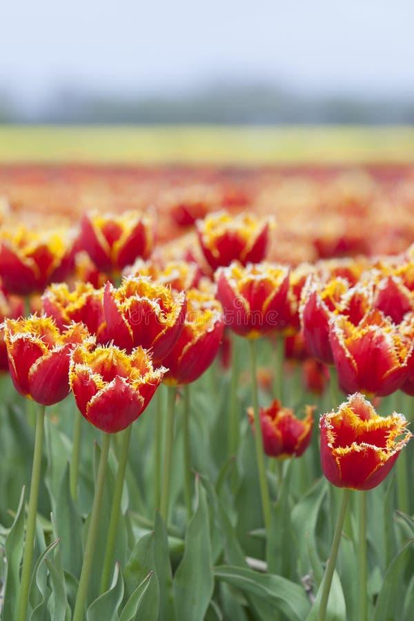 Closeup av röda tulpan med det gula brättet i holländskt blommafält fotografering för bildbyråer
