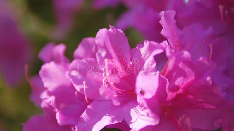 Closeup av rosa blommor f?r l?sa rosmarin royaltyfri bild