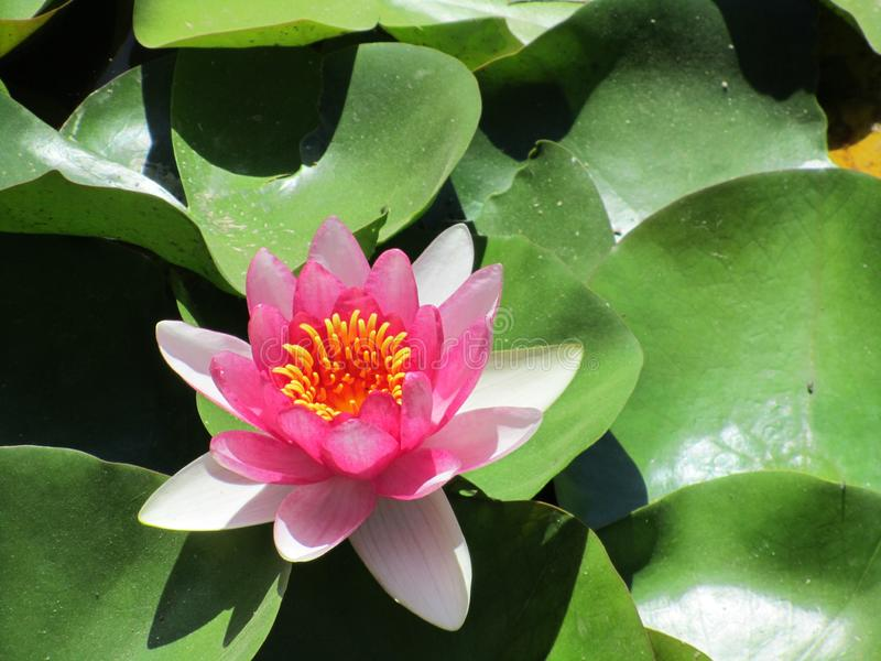 Closeup av rosa lotusblomma Blomman som v?rma sig i en sol- lampa arkivfoto