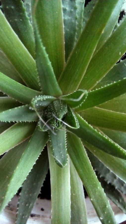 Closeup av scharlakansrött spinous för sidor Bästa sikt av rosetten av gröna sidor arkivbilder