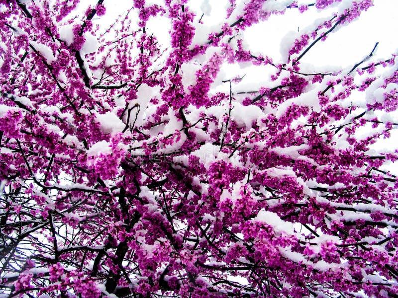 Closeup av snö på de blommade ut redbudträden i mars - bakgrund arkivfoto