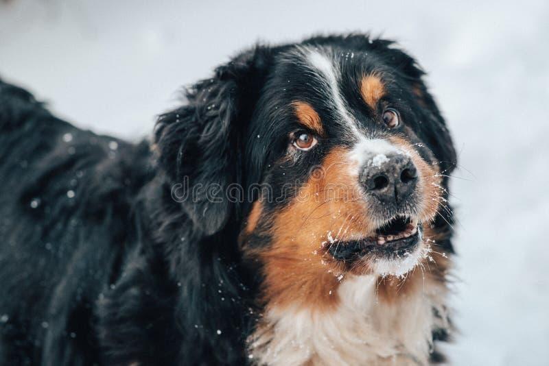 closeup av stbernardhunden royaltyfri bild