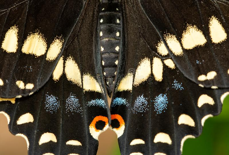 Closeup av svarta Swallowtail fjärils vingar arkivbild