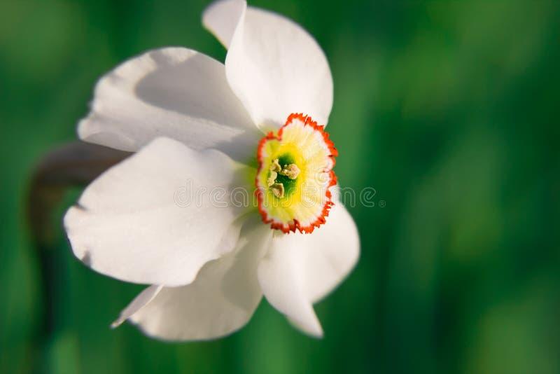 Closeup av symbolet av blommor för pingstlilja för ½ för ¿ för ï för vårnypremiär som och för falsk stolthet klargöras av solen p royaltyfri fotografi