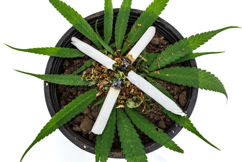 Closeup av torkad marijuana arkivbilder