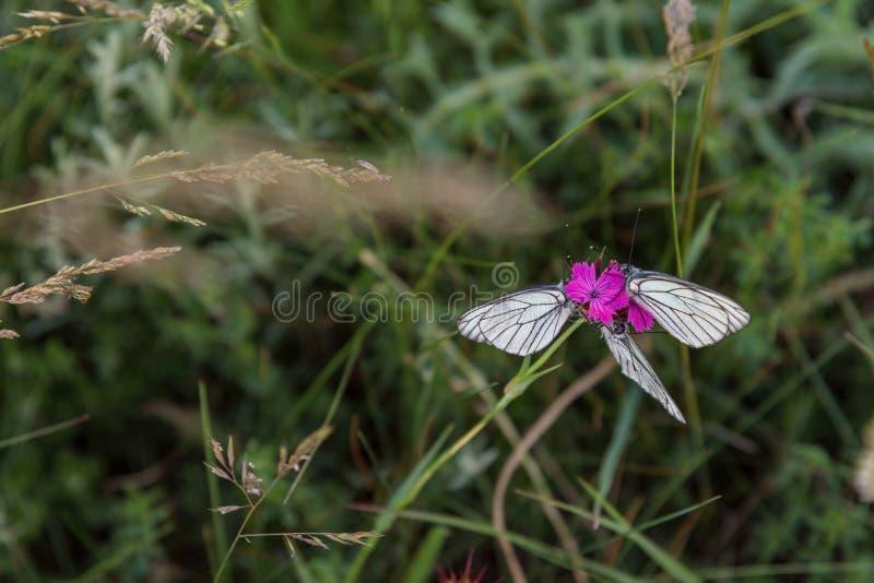 Closeup av tre vita fjärilar på purpurfärgad nejlika arkivbilder