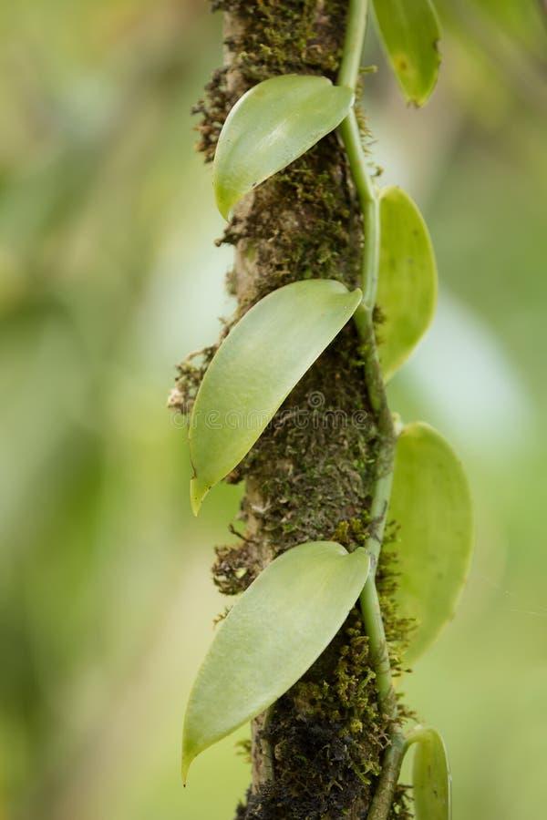Closeup av vaniljväxten, Madagaskar fotografering för bildbyråer