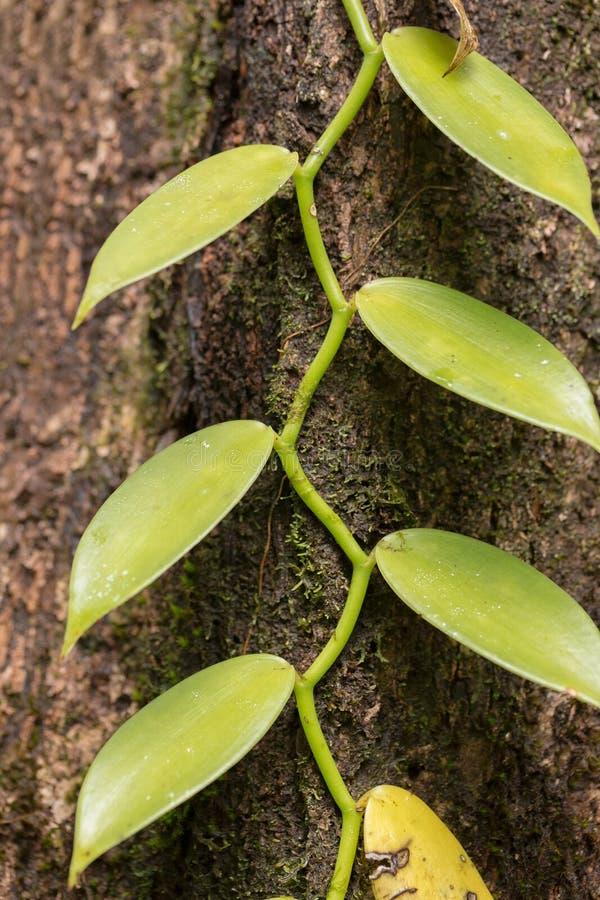 Closeup av vaniljväxten, Madagaskar royaltyfri fotografi