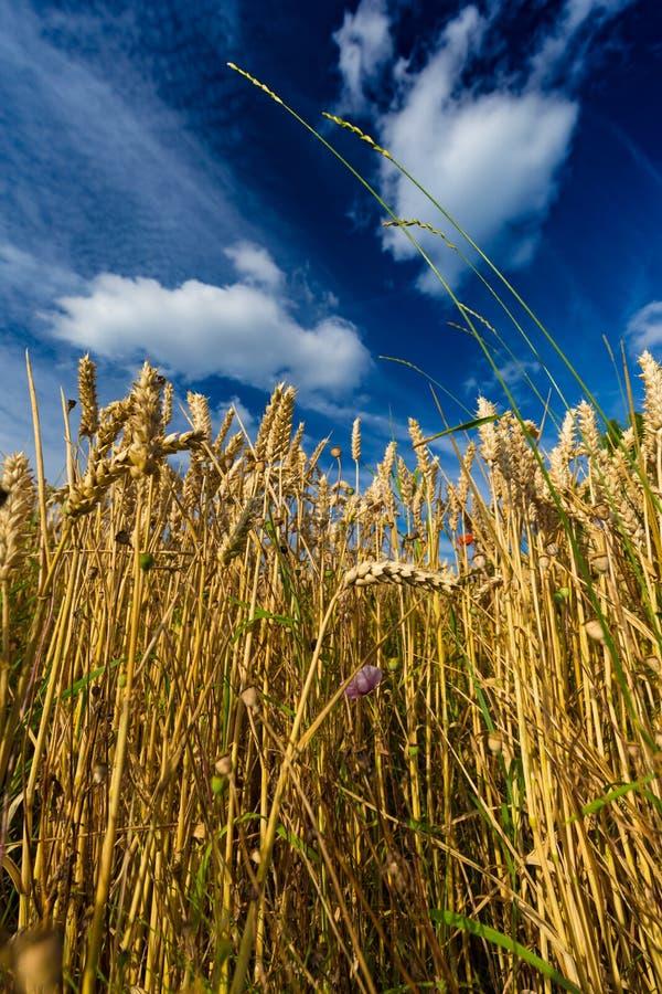 Closeup av veteväxter mot dramatisk blå himmel i Belgien arkivfoto