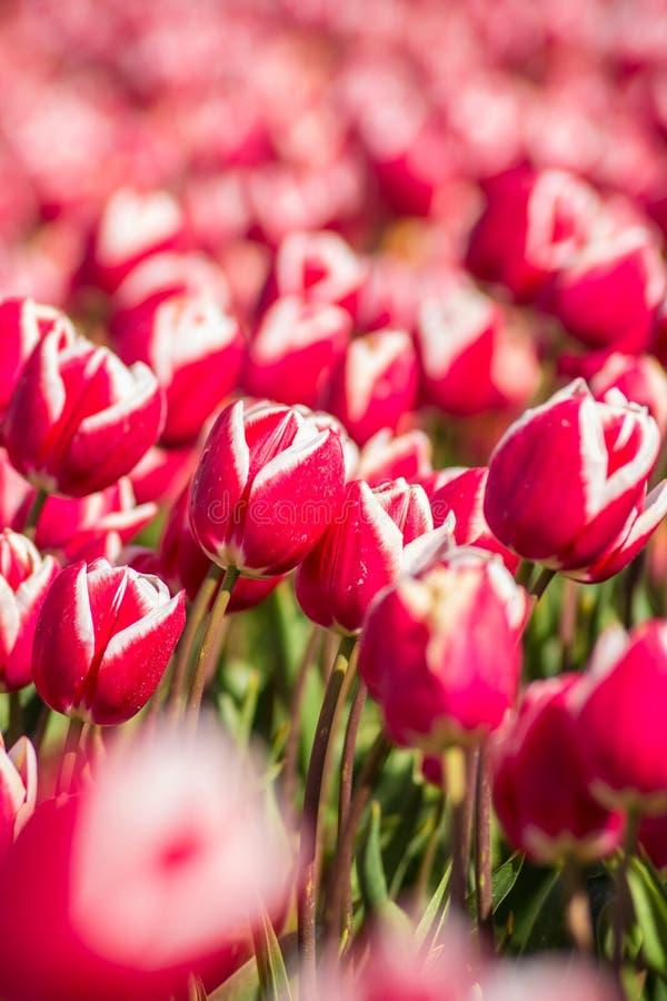 Closeup av vibrerande färgrika tulpanblommor i holländskt fält royaltyfri bild
