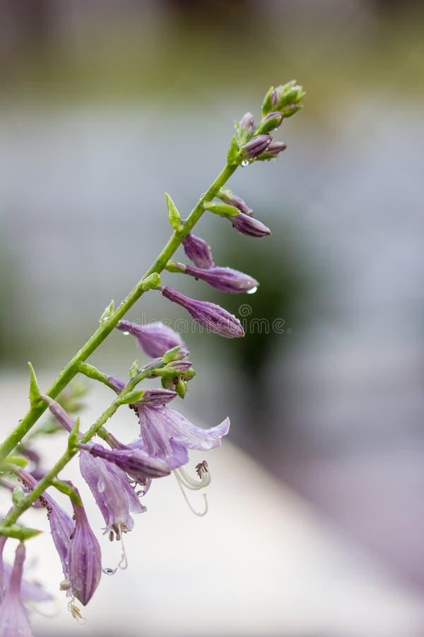 Closeup av violetta blommor av den blommande hostaHostaundulataen royaltyfri foto
