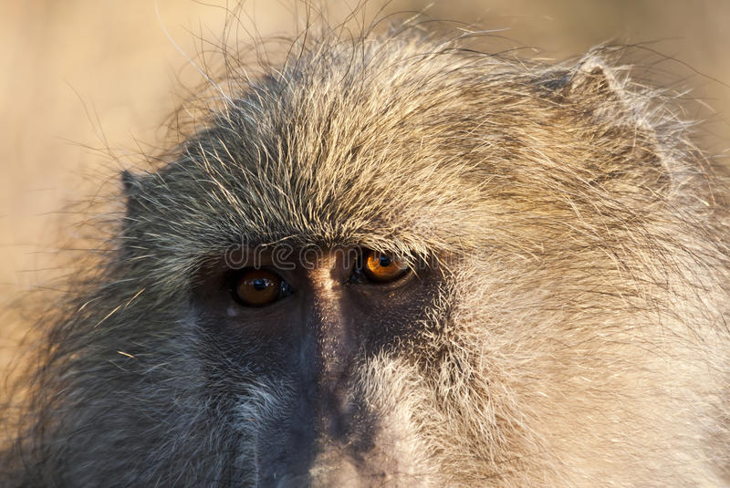 Download Closeup Of Baboon Staring Royalty Free Stock Photography - Image: 16881767