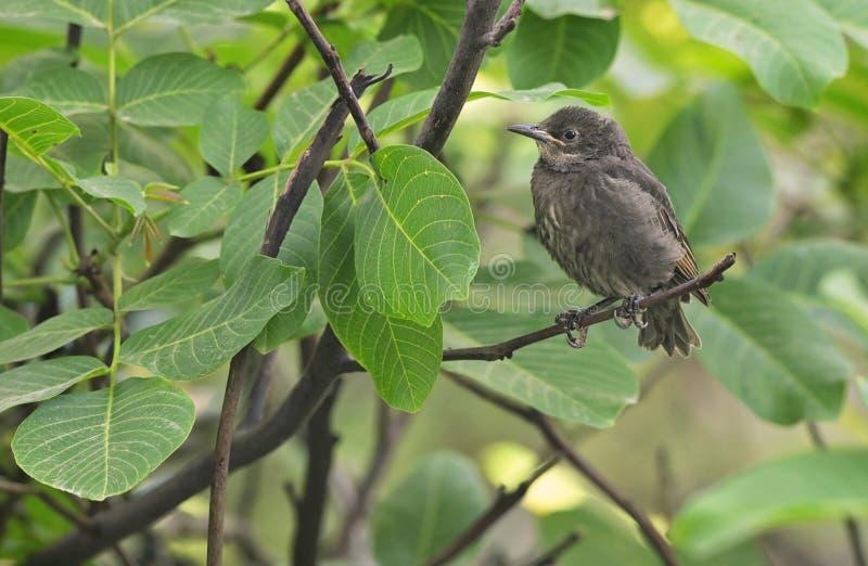 A baby Common Blackbird Turdus merula royalty free stock photography