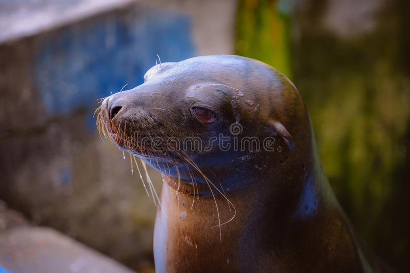 Closeup of a baby sea lion with blurred background royalty free stock images