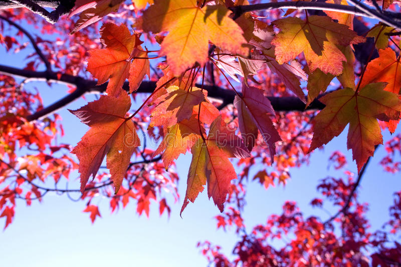 Closeup of back-lit multicolored fall leaves stock photos