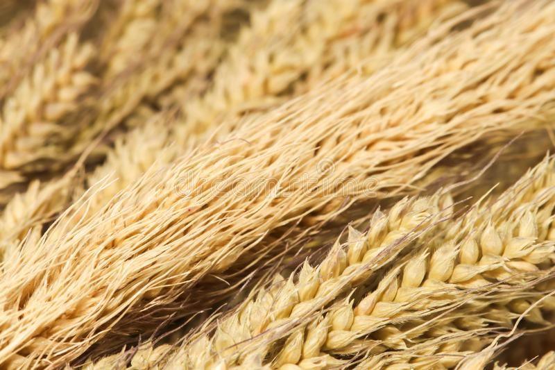 Closeup Background of group brown dry grass on white background. Closeup of Background of group brown dry grass on white background stock images