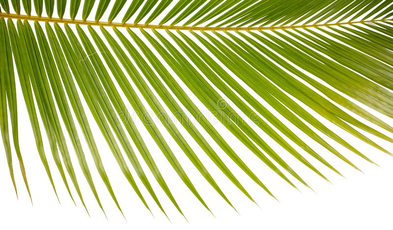 Closeup Background Of A Palm Tree Frond On White. Closeup of a palm tree frond, isolated on white for backgrounds stock images