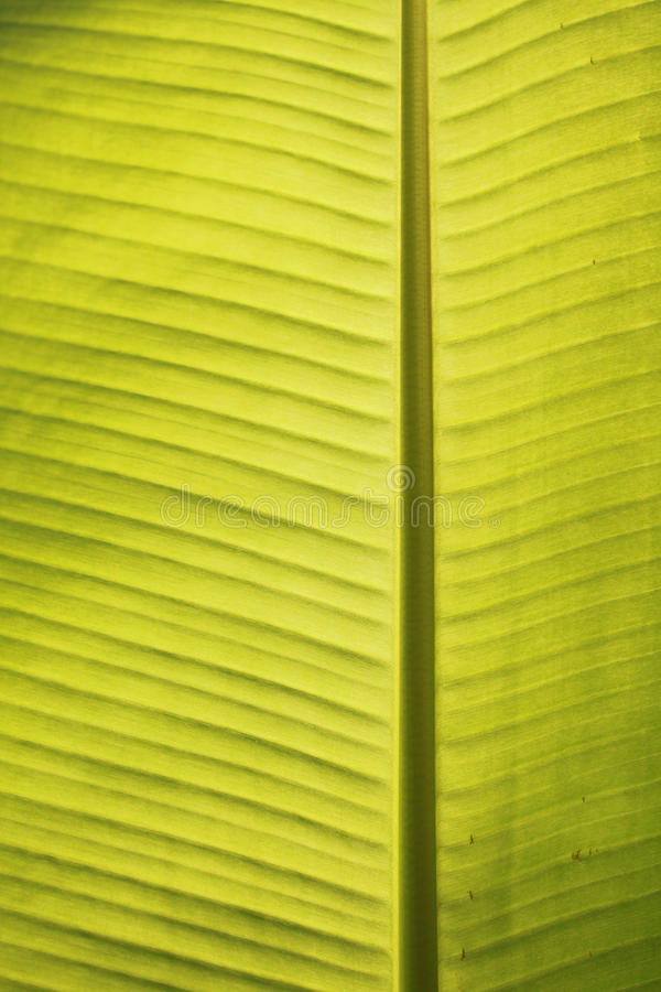 Closeup of banana leaf veins in tropical noon sun royalty free stock images