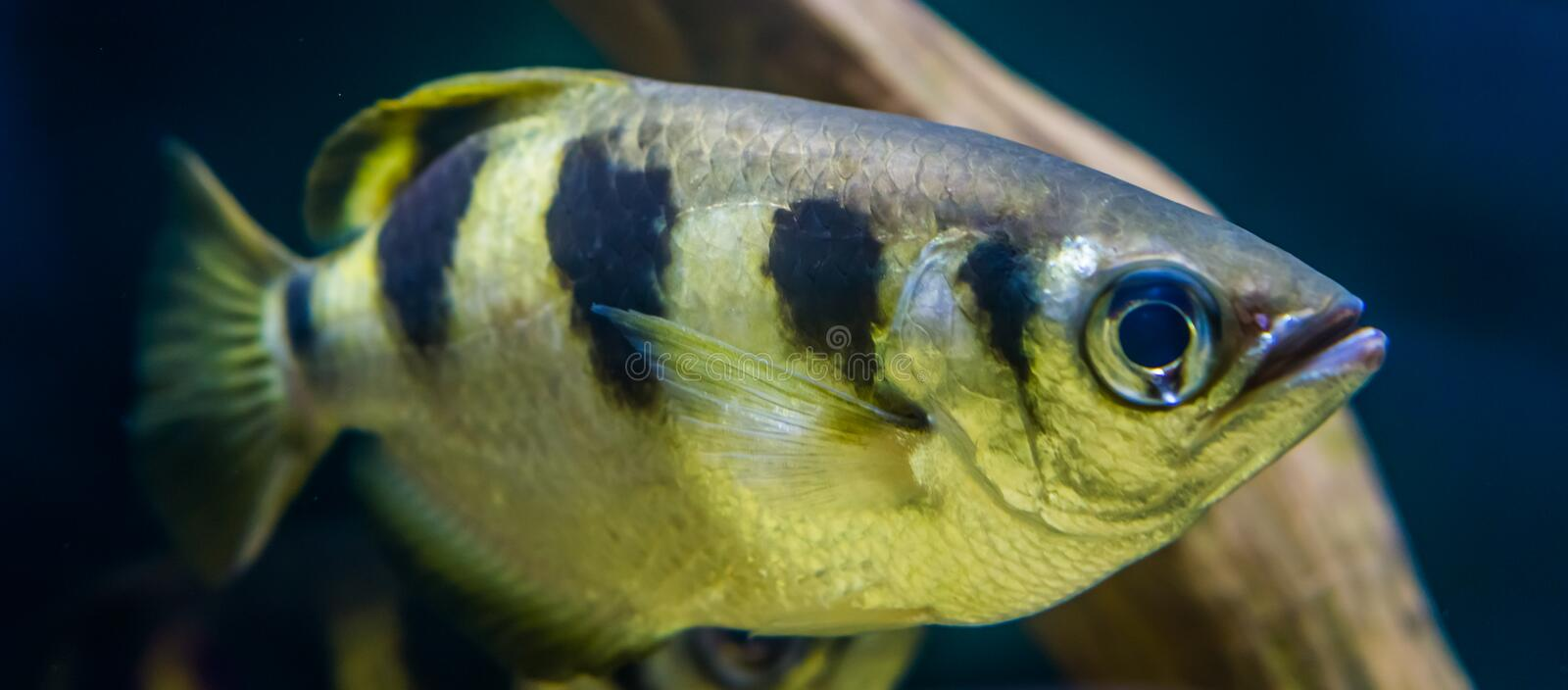 Closeup of a banded archer fish, popular aquarium pet in aquaculture, Exotic specie from the Indo-pacific ocean. A Closeup of a banded archer fish, popular royalty free stock photos