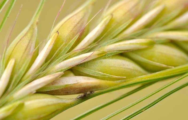 Closeup of barley seeds royalty free stock photo