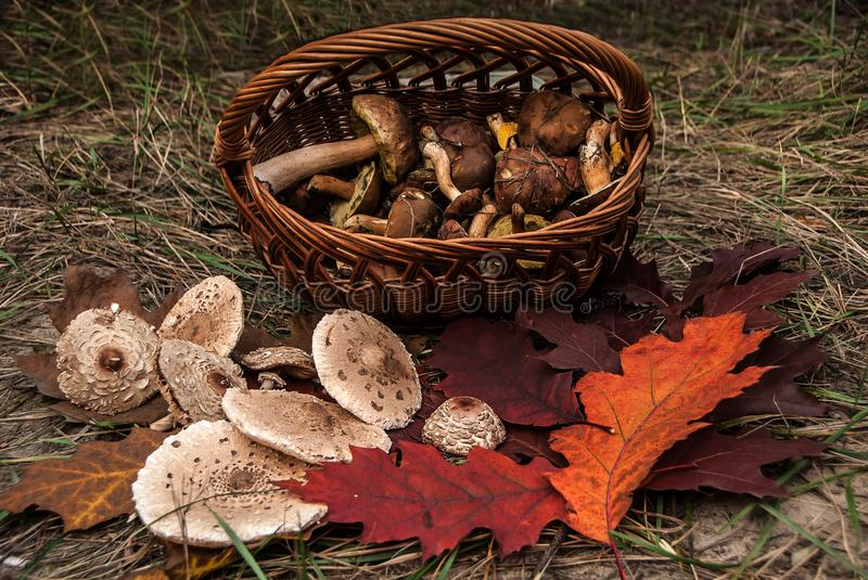 Closeup of basket with fresh mushrooms and beautiful red oak leaves. stock images