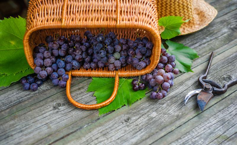 Closeup basket with grapes beside secateurs on vintage rustic wooden table. Wine making. Background royalty free stock photos