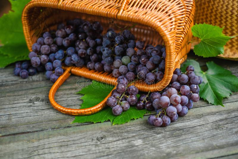 Closeup basket with grapes on vintage rustic wooden table. Wine making. Background royalty free stock photography