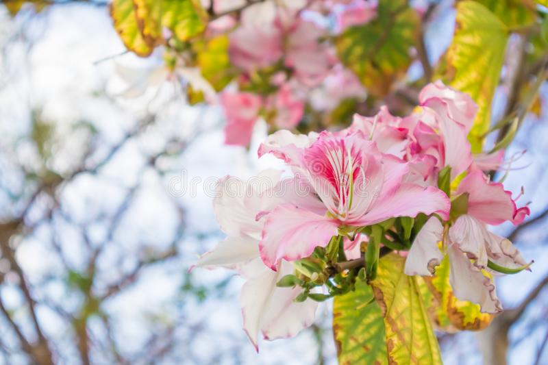 Closeup of Bauhinia Variegata tree brunch with light pink flowers. Room for text stock image