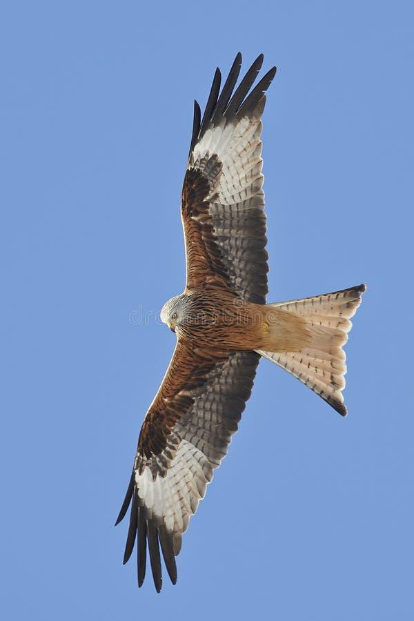Red kite (Milvus milvus) royalty free stock images