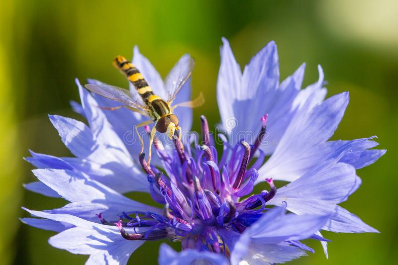 Closeup of a beautiful blue purple cornflower, bachelor`s button and a hornet, bee royalty free stock photo