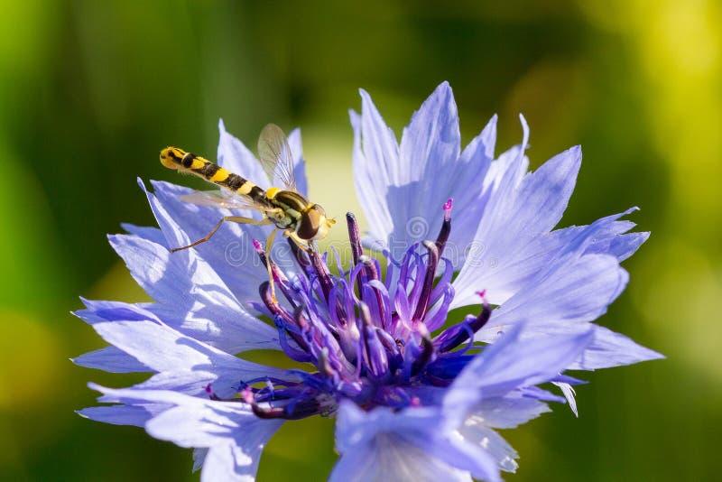 Closeup of a beautiful blue purple cornflower, bachelor`s button and a hornet, bee stock photo