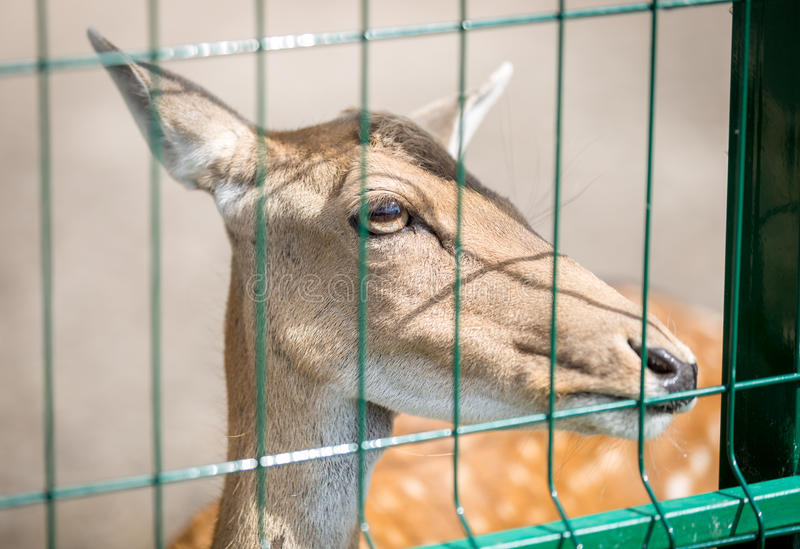 Closeup of beautiful deer behind the fence in zoo stock photos