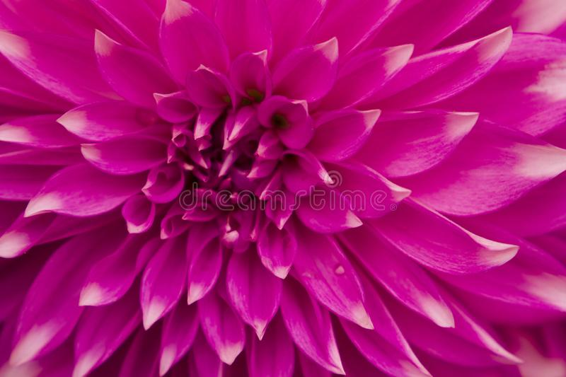 Closeup of beautiful Chrysanthemum flower with red petals royalty free stock photography