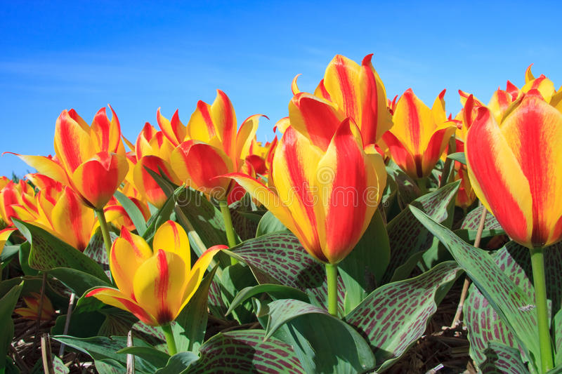 Closeup of Beautiful Dutch tulip flowers in field royalty free stock photo