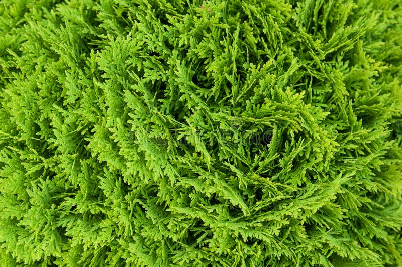Closeup of Beautiful green christmas leaves of Thuja trees stock photography