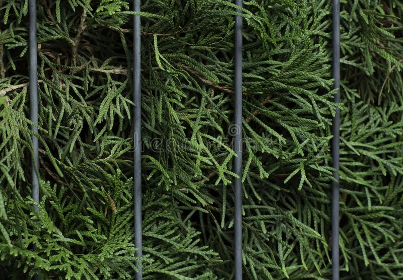 Thuja leaves and bars background stock image
