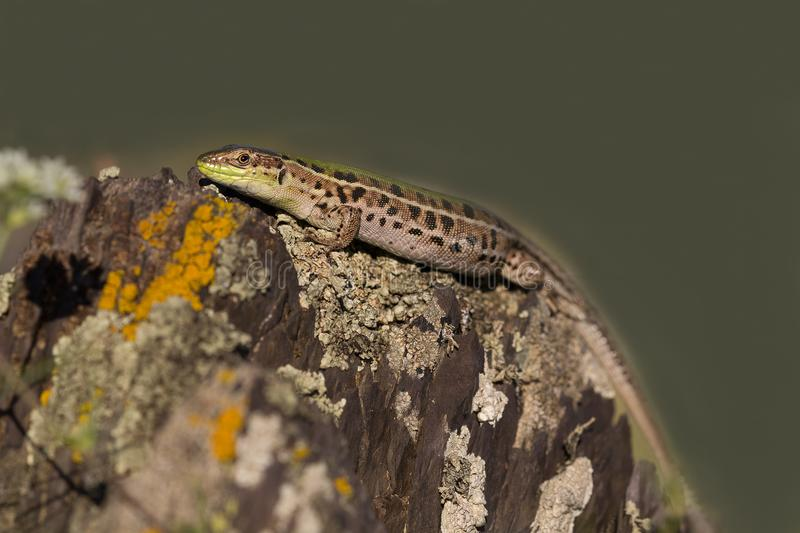 Closeup of a beautiful green lizard with brown spots royalty free stock image