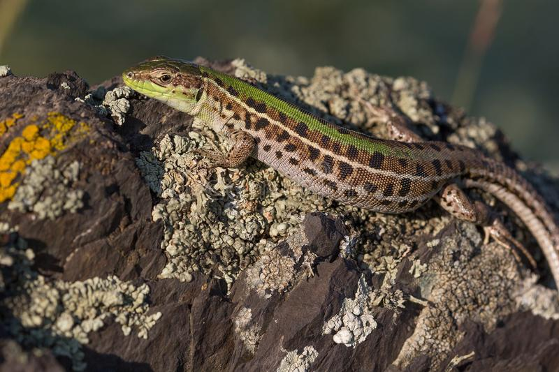 Closeup of a beautiful green lizard with brown spots stock images