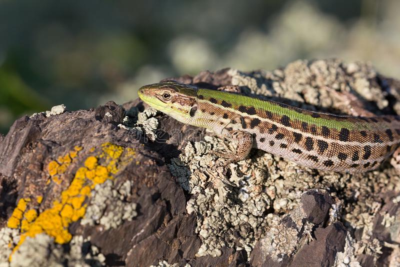 Closeup of a beautiful green lizard with brown spots royalty free stock images