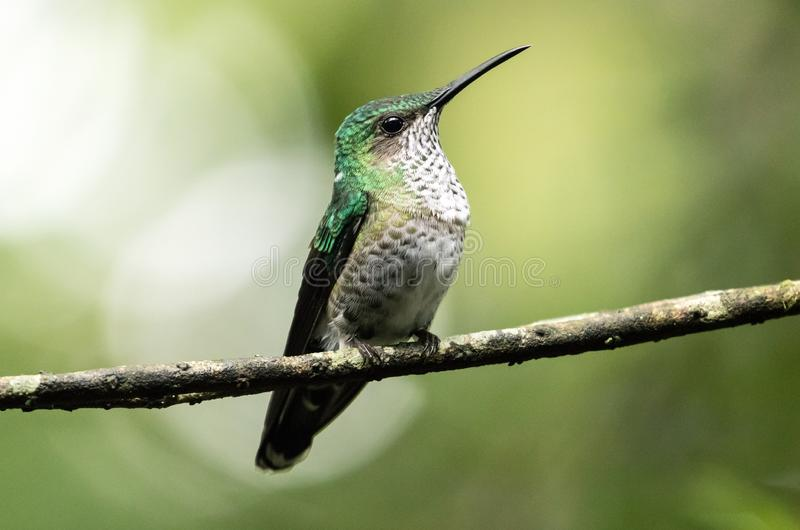 Portrait of White-necked Jacobin hummingbird, female ,Ecuador stock image